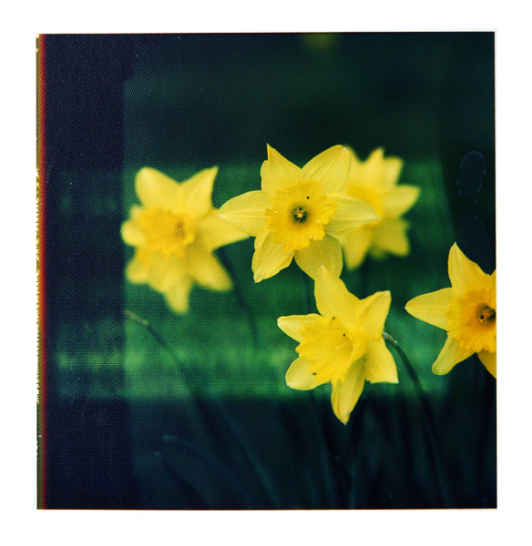 Daffodil on Polaroid | Osterglocken auf Polaroid